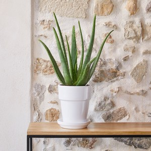 Aloe Vera botanic® - Pot de Ø 18 cm