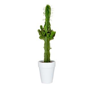Euphorbia Erythrea botanic® - Hauteur 70/80 cm