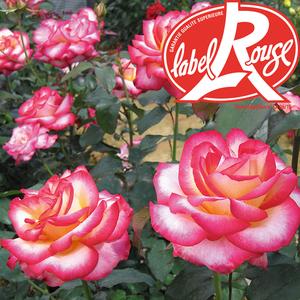 Rosier Léo Ferré® Label Rouge en pot de 5L 402798