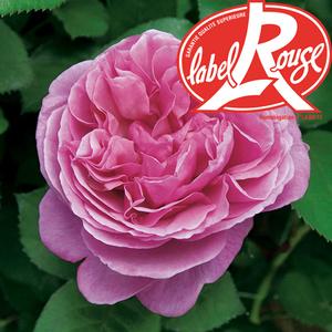 Rosier Line Renaud® Label Rouge en pot de 5L 402799