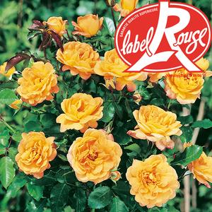 Rosier Adriana Top Model® Label Rouge en pot de 5L