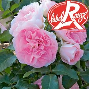 Rosier Jet Set® Label Rouge en pot de 5L