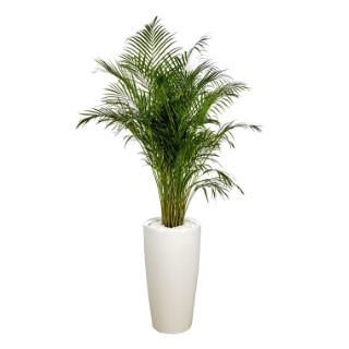 Areca lutescens et son pot Rondo premium Ø 40 blanc 405287