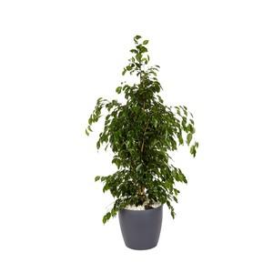 Ficus benjamina et son pot Classico color Ø 35 gris 405303
