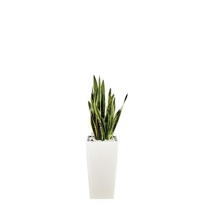 Sansevieria laurentii et son pot Cubico premium Ø 30 blanc 405329