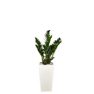 Zamioculcas et son pot Cubico premium Ø 30 blanc 405337