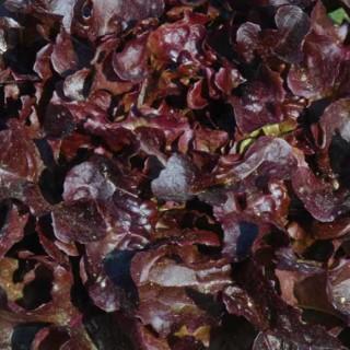Salade à couper feuille de chêne rouge Opalix bio. La barquette de 6 plants