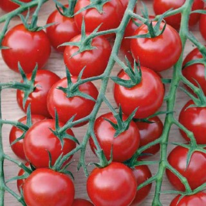 Tomate cerise ronde balconi rouge bio. Le pot recyclé de 2.5 litres 406010