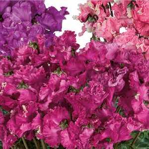 Cyclamen grandes fleurs pipocca®. Le pot de diamètre 14 cm 412789