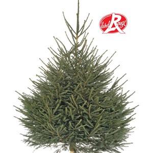 Sapin de Noël naturel coupé Picea Excelsa Label Rouge 125/150 cm