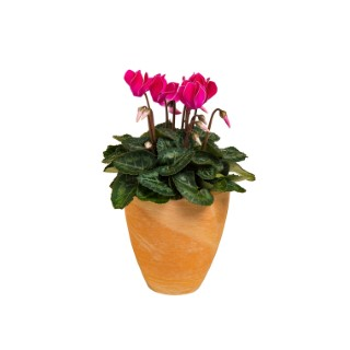 Mini cyclamen. Cache pot terre 414765