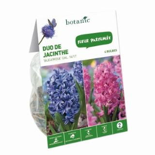 Bulbe duo de jacinthe orientale bleu et rose botanic® x 4 414767
