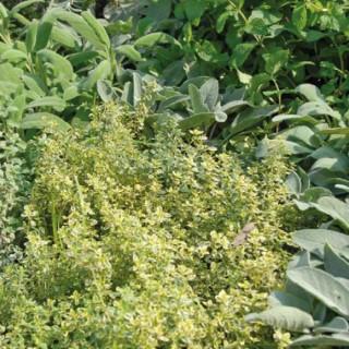 Mélange D'Aromatiques. La barquette de 6 plants 41481