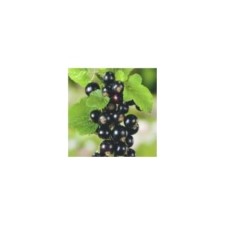 Cassis Andega biologique botanic® 414811