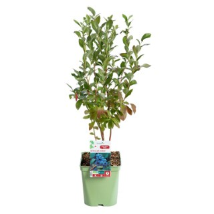 Myrtille Patriot collection botanic® 414817