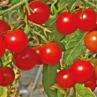 Tomate Cerise Sweet Baby - barquette de 3 plants