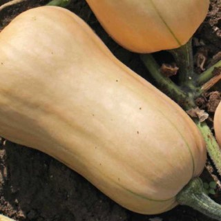 COURGE BUTTERNUT WALTHAM.Le pot de 10,5 cm