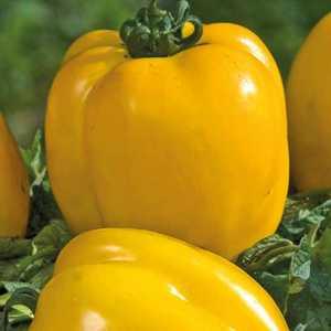 Tomate allongée Poivron Jaune bio. Le pot compostable de 10.5 cm 41524