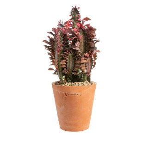 Euphorbia hermentiana rubra en pot Terre cuite H 100 x Ø 15 cm 415684