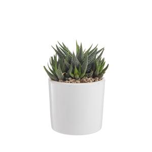 Haworthia mix en pot émaillé blanc Ø 10 cm 415699