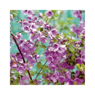 Prostanthera Rotundifolia 423775