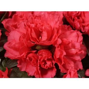 Azalée classic rouge. Le pot de 15 cm