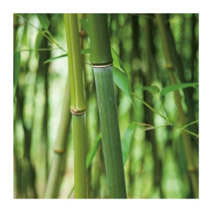 Bambou (BAMBOU PHYLLOSTACHYS BISSETI) Le pot de 10 litres 439920