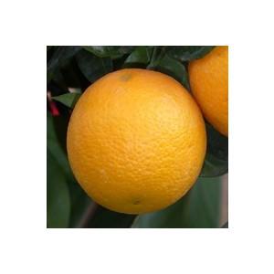 Oranger 30/40 en conteneur de 3 L 444276