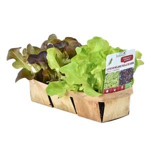 Salades bio en mélange. La barquette de 12 plants