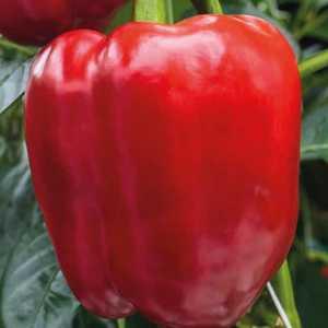 Poivron À Gros Fruits Rouges Greffée. Le pot de 1 litre recyclé 447470