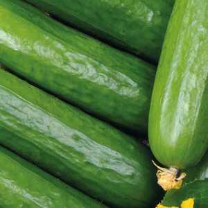 Concombre Long Et Lisse Rollinson's bio. Le pot compostable de 10.5 cm