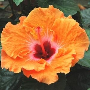 Hibiscus plantes fleuries maison botanic - Hibiscus d interieur entretien ...