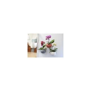 Phalaenopsis Baby + Cache-Pot magnétique