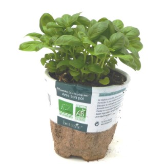 Basilic Grand Vert. Le pot compostable de 10,5 cm 450511
