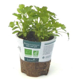 Coriandre. Le pot compostable de 10,5 cm 450517