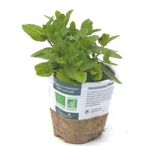 Menthe Marocaine bio. Le pot compostable de 10.5 cm