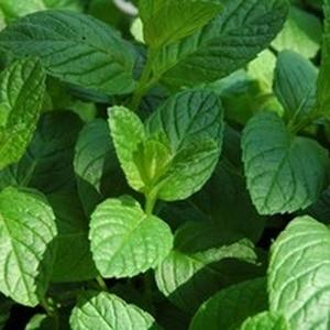 Menthe Verte. Le pot compostable de 10,5 cm