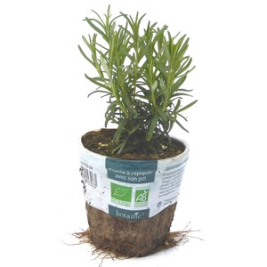 Romarin. Le pot compostable de 10,5 cm 450530