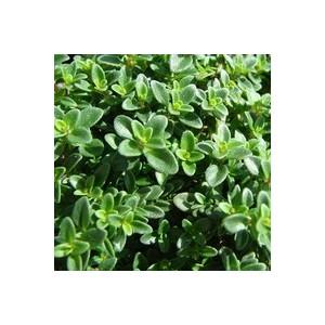 thym citron le pot de 10 5 cm plantes aromatiques selection botanic potager botanic. Black Bedroom Furniture Sets. Home Design Ideas