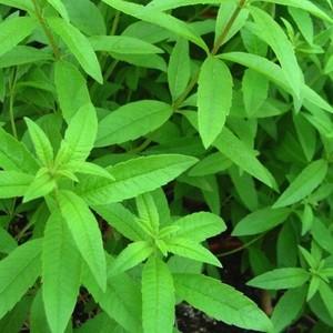 verveine citronnelle le pot de 10 5 cm plantes aromatiques selection botanic potager botanic. Black Bedroom Furniture Sets. Home Design Ideas