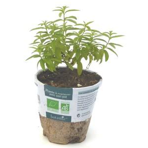 Verveine Citronnelle. Le pot compostable de 10,5 cm