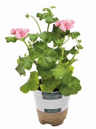 Géranium lierre à  fleurs simples.Le pot de 10, 5 cm