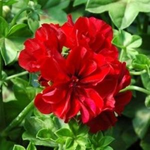 Géranium lierre à  fleurs doubles.Le pot de 10, 5 cm