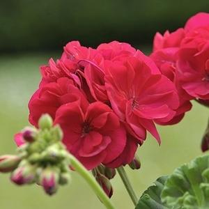 Géranium zonale. Le pot de 10.5 cm