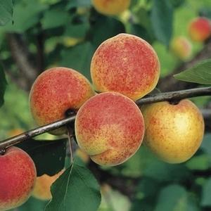 Les abricotiers conseil jardin botanic botanic - Quand tailler les abricotiers ...