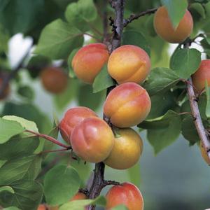 abricotier nain botanic