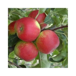 Pommier Pomme Des Moissons ® Delprivale forme gobelet
