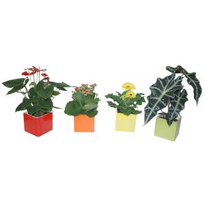 Plantes fleuries + Cache-Pot