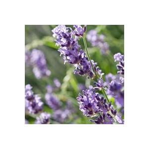 lavande bleue en pot de 1 l plantes vivaces jardin botanic. Black Bedroom Furniture Sets. Home Design Ideas