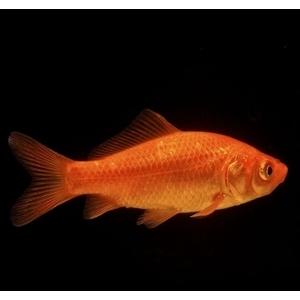 Poissons de bassin jardin aquatique et jardin botanic for Bassin poisson rouge